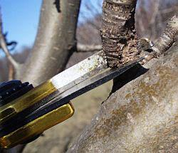 Как правильно производить обрезку вишни