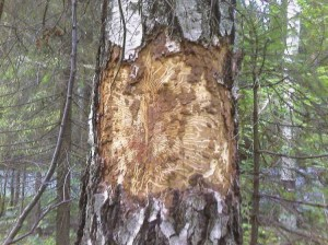 The fight against bark beetles