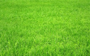 thick and beautiful turf