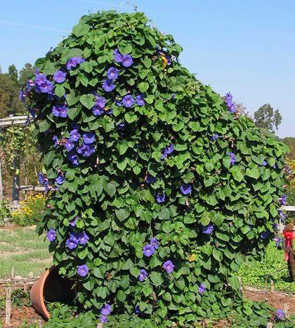 как создать свои сады семирамиды с помощью вьюнов для дачи